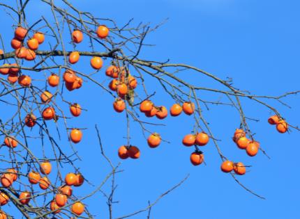 Persimmon tree bearing fruit