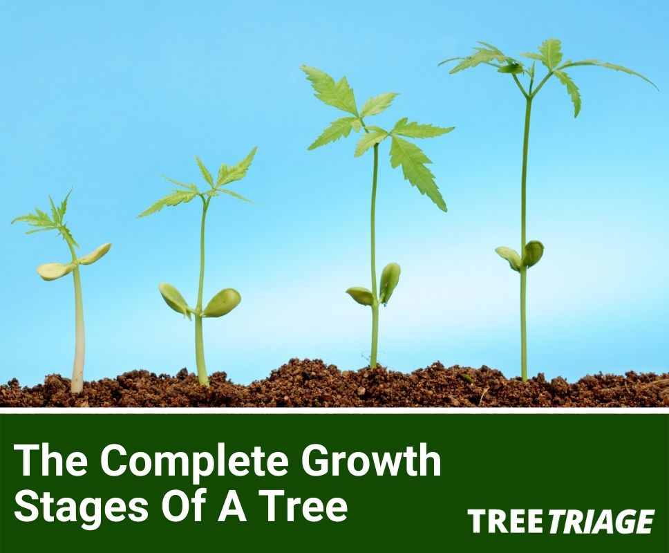 The Complete Growth Stages Of A Tree